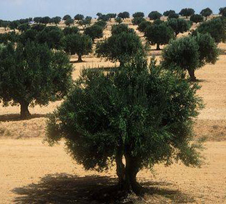 An olive tree in Sahel, Tunisia. Disruption in the agricultural industry threatens to drive water conflict in this important country in the MENA region.