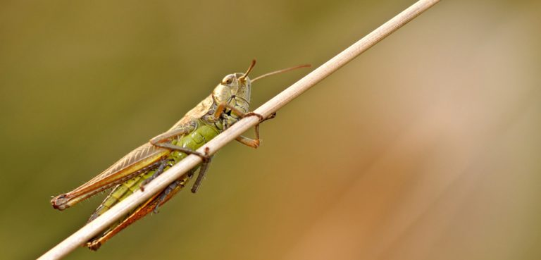 Locust, modified, creative commons