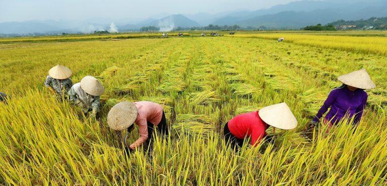 cc Vietnam News Agency (VNA), modified, Vụ mùa năm 2018, toàn huyện Ðiện Biên (Điện Biên) gieo cấy gần 6.400ha lúa nước và hơn 2.200ha lúa nương chủ yếu là các giống lúa: Bắc thơm số 7, IR64, Nếp 97, 98... Năng suất lúa trung bình toàn huyện ước đạt gần 60 tạ/ha, sản lượng ước đạt trên 37.800 tấn. Ảnh: Phan Tuấn Anh - TTXVN