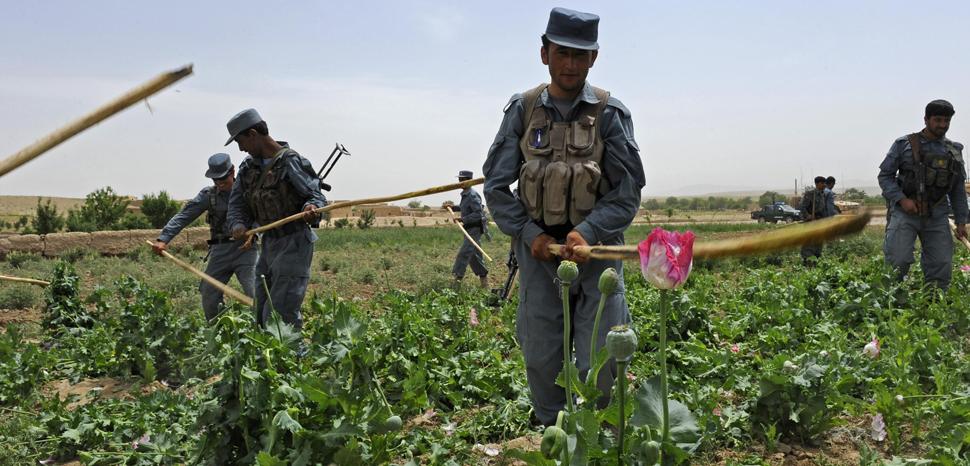 Afghan uniform police use sticks to eradicate a poppy field near the city of Qalat, Zabul province, Afghanistan, May 4. Photo by 1st Lt. Brian Wagner, cc Flickr ResoluteSupportMedia, modified, https://flickr.com/photos/isafmedia/5688713447/in/photolist-9EK57G-9EG95P-81JFMe-8PLWnK-9EG9jk-82Jn5D-62nTzJ-9EK4Ns-81N9Qq-81MRRf-62jWoe-81K1G6-bs9TR3-62iBDB-62iNDg-bs9TSU-62pbXm-62pdqA-62iAer-81K1f8-62jVre-62nPWE-5ZwCnW-81Na57-5Zsnm8-81MQdf-62iyGR-bF4N7g-7G91jC-81N9io-7ujqo6-7PXF82-5ZsAWx-81MRBm-bF4NeT-62nNAS-81MQTm-81MRi7-p7Sp3M-bF4Ndi-9CZLjW-7G52MV-q4rzxx-5ZwKR3-5BWeE3-d7EtLQ-d7Ev4o-d7EriL-5BWeGu-5GgxxS